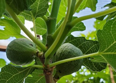 Green fruit tree