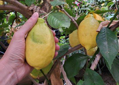Picking lemon from tree